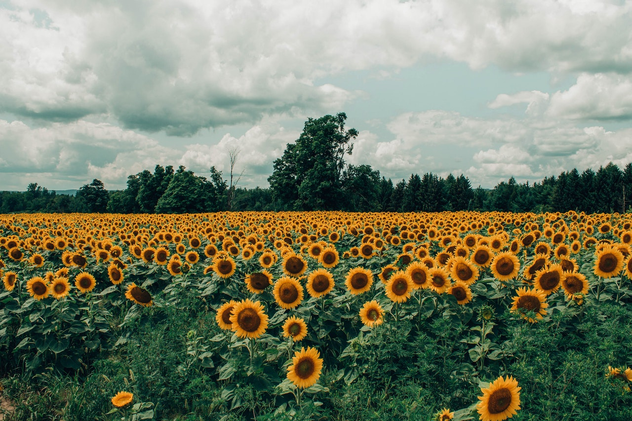 https://f.hubspotusercontent20.net/hubfs/5178372/bed-of-sunflower-1287124.jpg